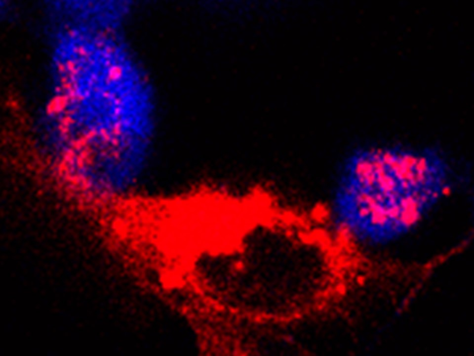 Macrophages tasting a cancer cell (Virag Lab)